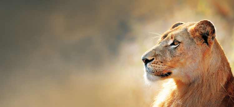 Lioness on safari | South Africa | Holidays to Africa