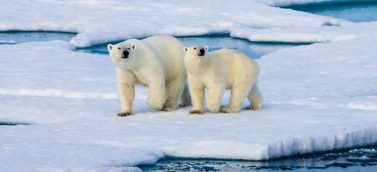 polar bears | Svalbard | Norway | arctic circle | Riviera Travel | escorted tour | cruise
