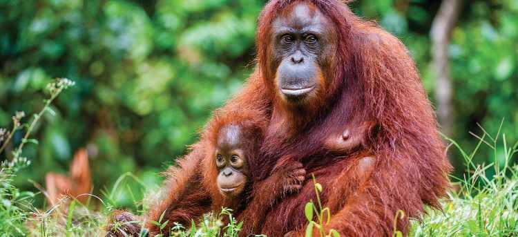 Sepilok Orangutan Rehabilitation Centre | Sandakan | Malaysia | Holidays to Malaysia & Borneo