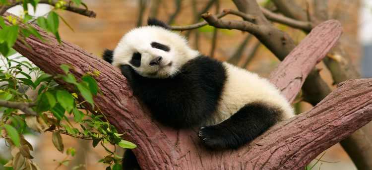 panda | china | riviera travel | grand tour of china | escorted tour
