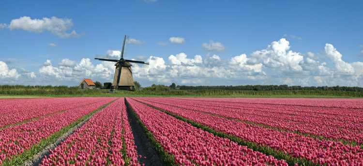 Dutch Bulbfields Pink Tulips | Riviera Travel | River Cruises