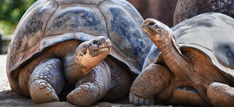 Two Galapagos Tortoises