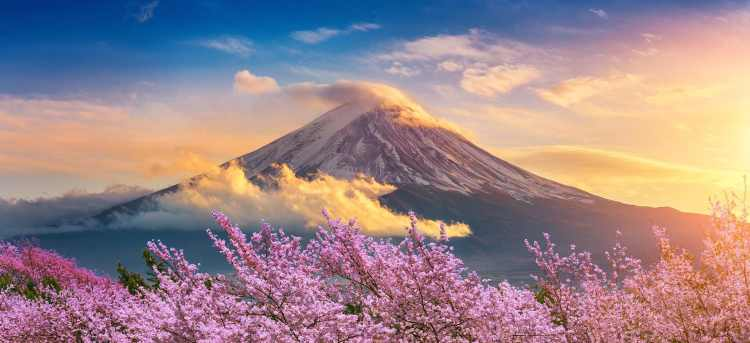 Mount Fuji in the morning light with cherry blossom trees