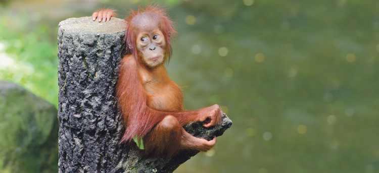 Sepilok Orangutan Rehabilitation Centre | orangutan | Sandakan | Malaysia | Riviera Travel | escorted tour