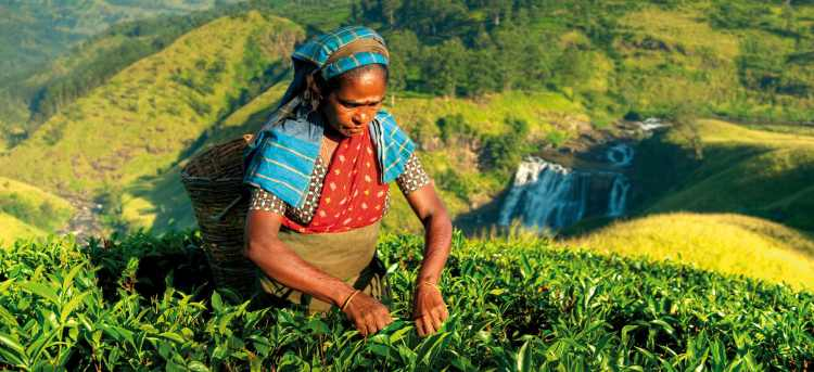 Woman with basket and blue headwrap picking tea leaves