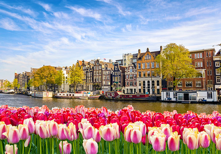 Tulips in bloom in the Netherlands next to a canal
