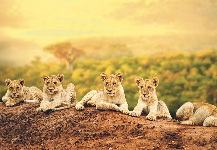 Lion Cubs South Africa Safari