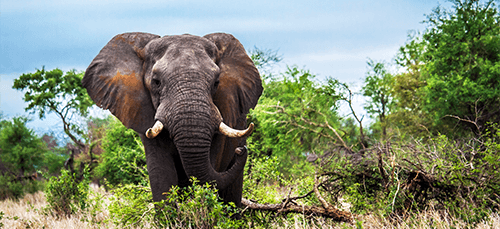 Elephant in Kruger National Park, South Africa