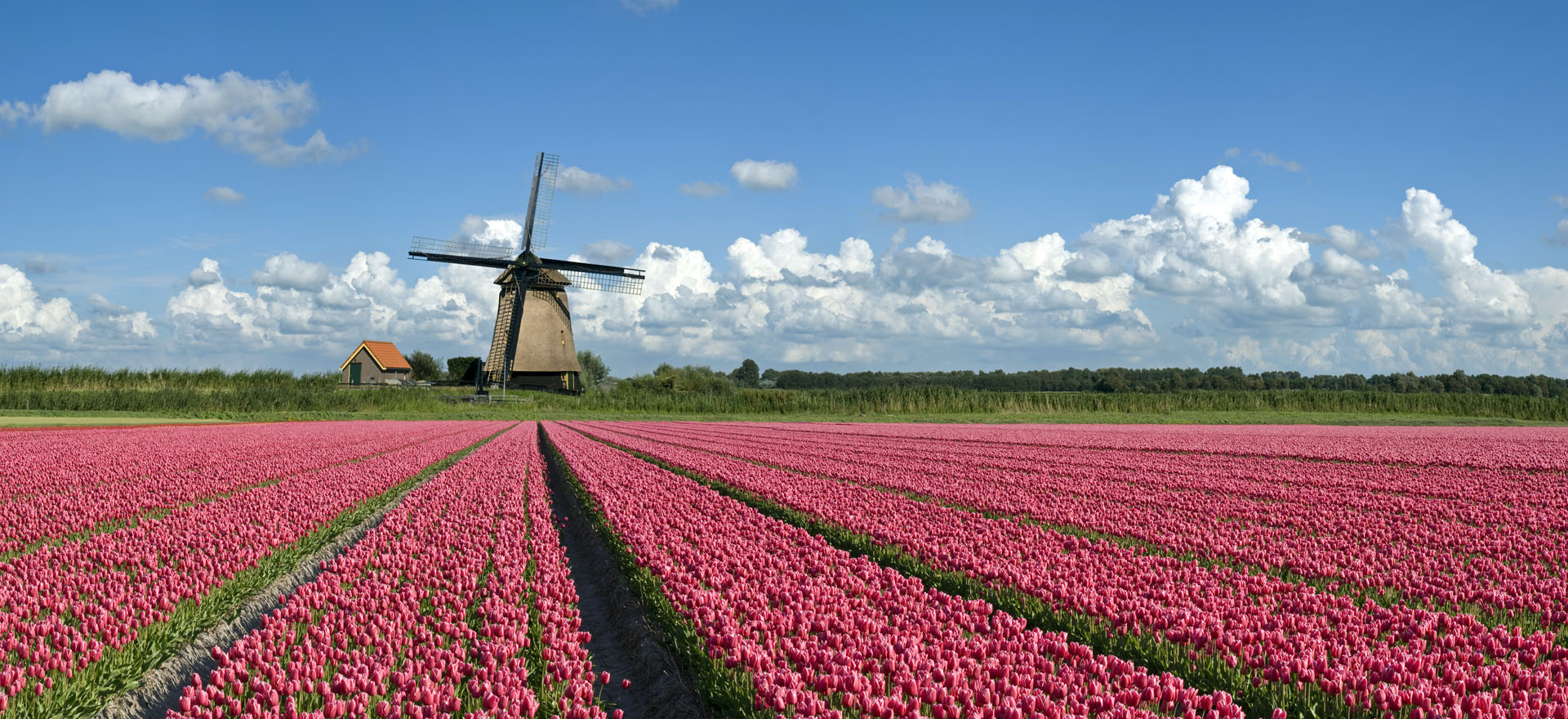 Pink tulips and windmil in Dutch Bulbfields