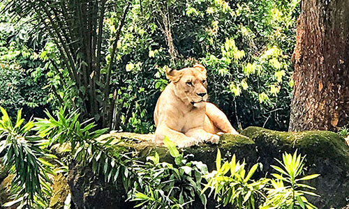 Lion lying on wall in jungle