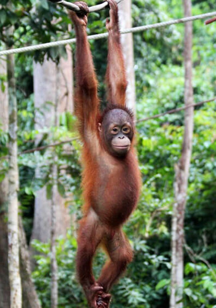 Archie the Orangutan swinging from a branch
