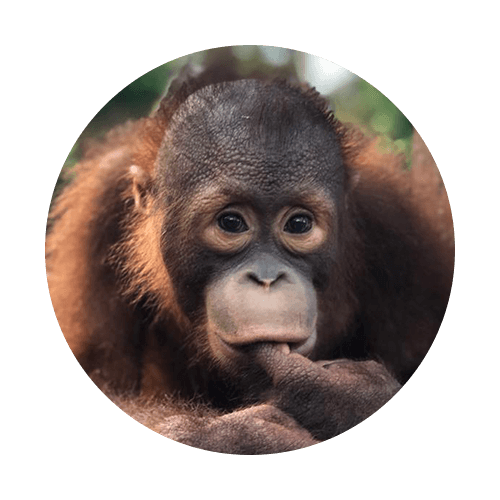 Archie the orangutan