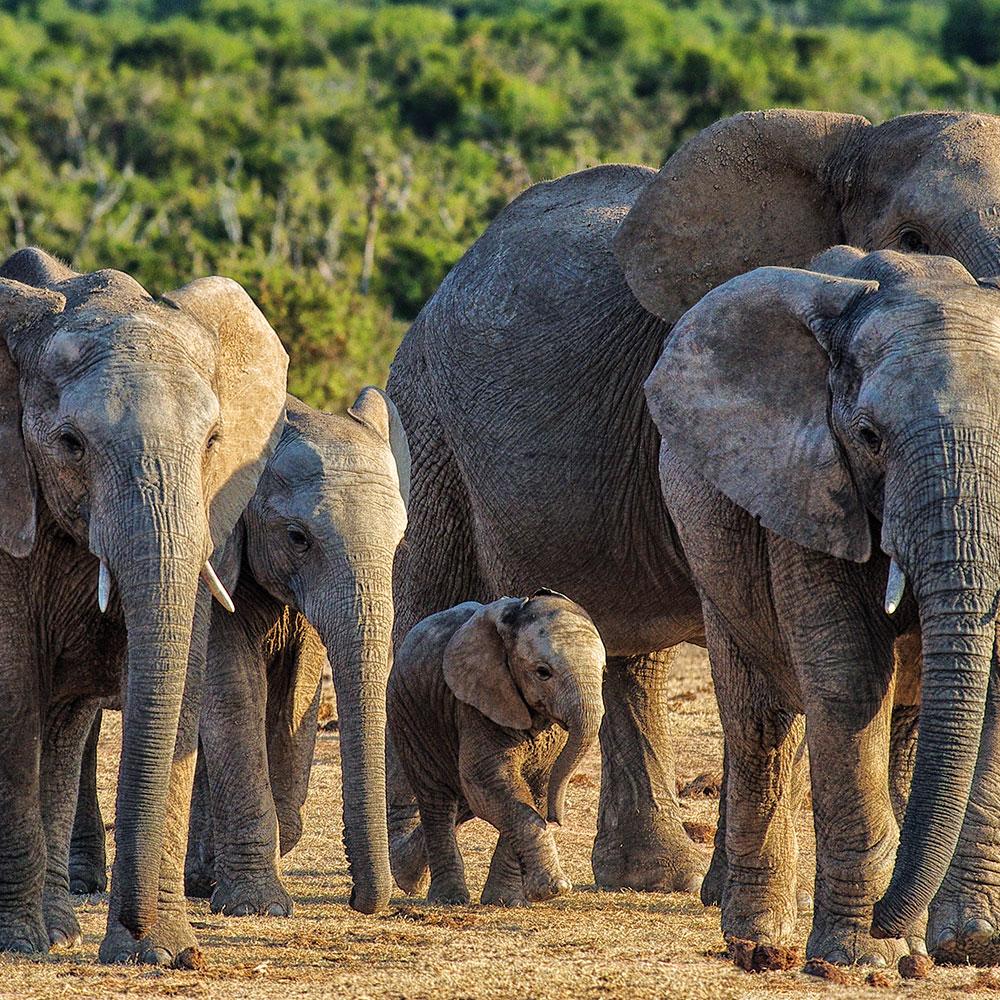Small herd of elephants