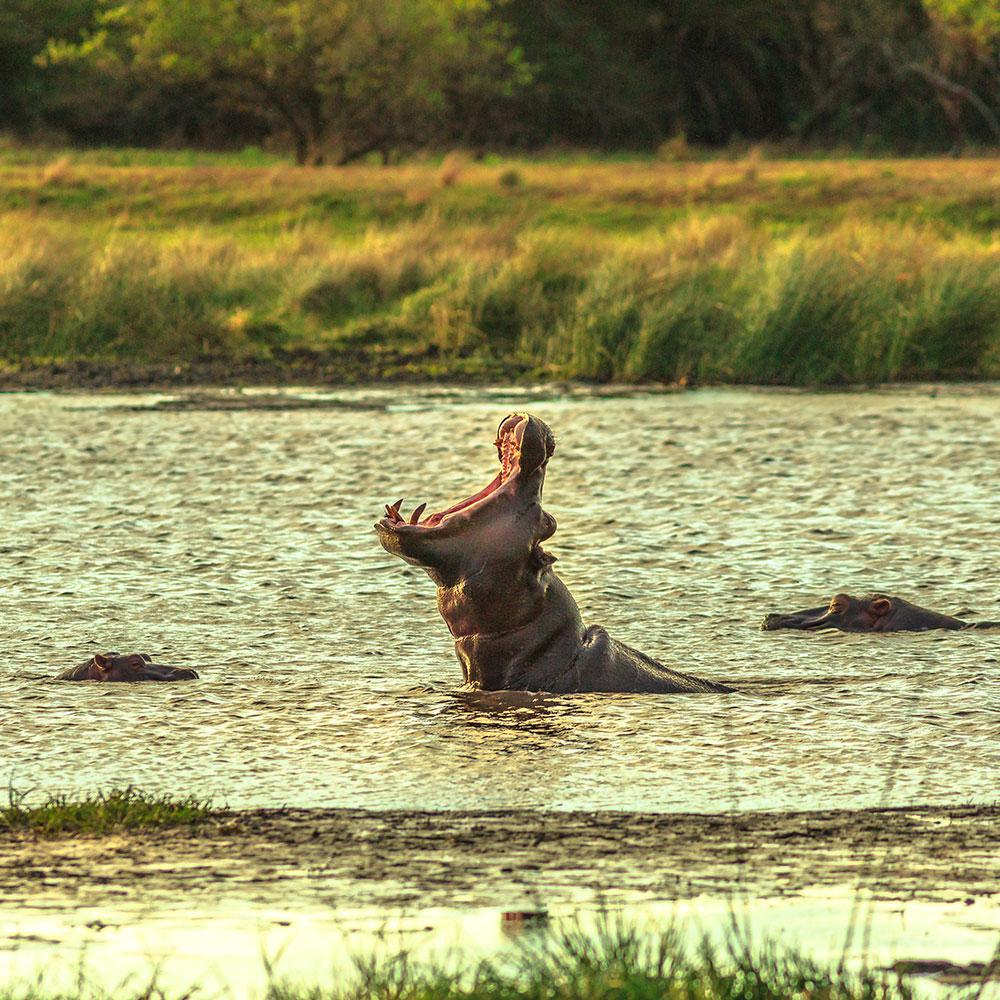 Hippo in the wetlands