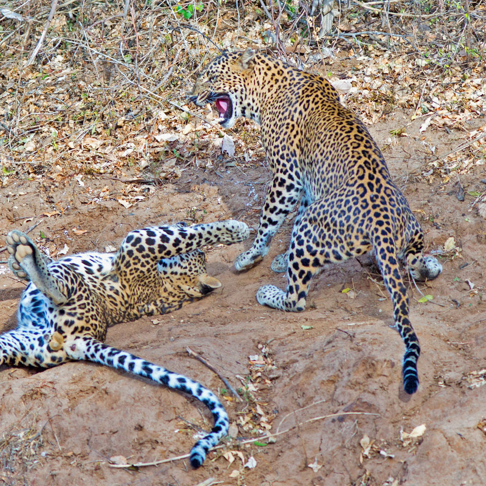 Leopards playing at Yala Park
