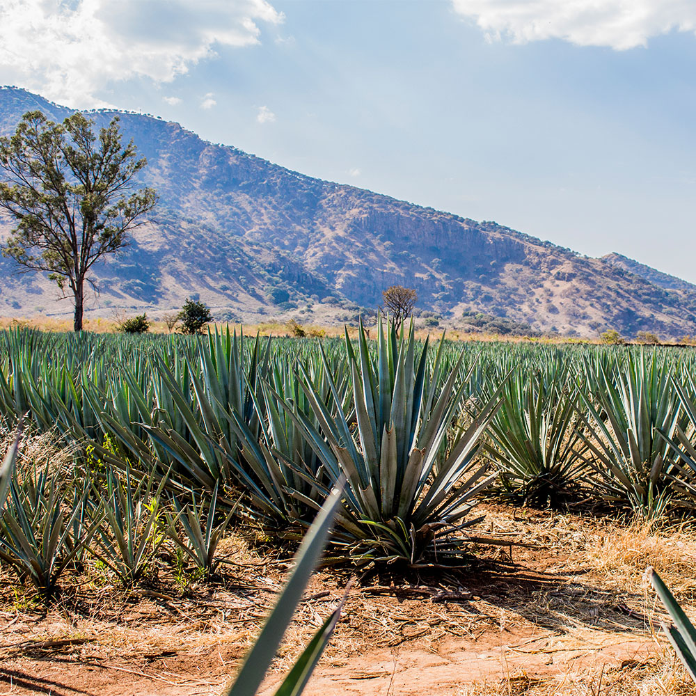 Agave Plants