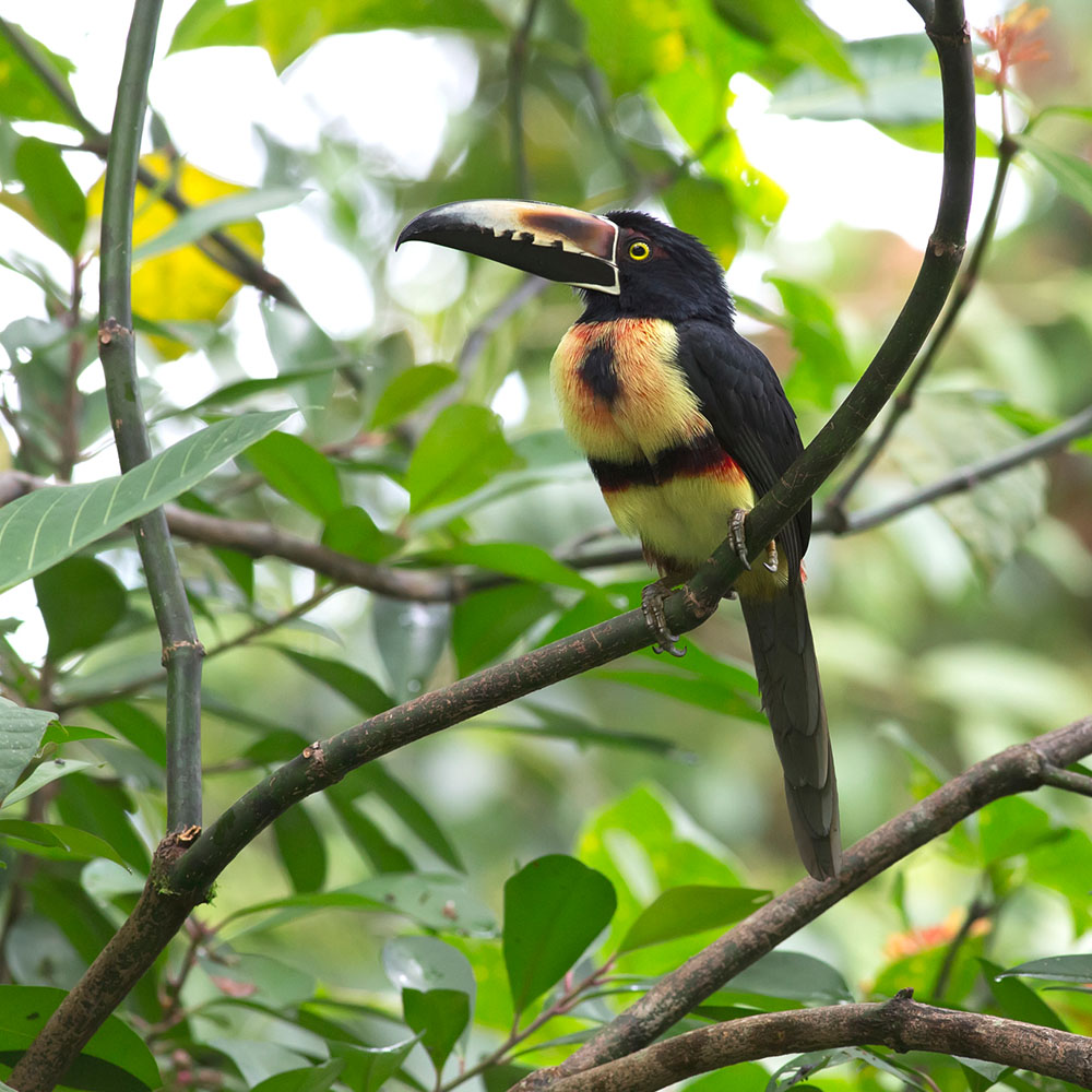 Collared aracari toucan in Palo Verde National Park