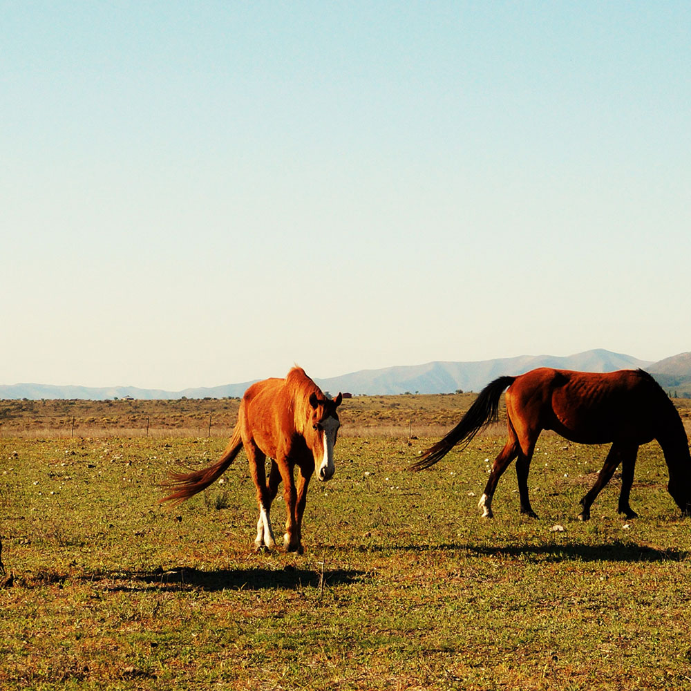 Horses in the Pampas plains