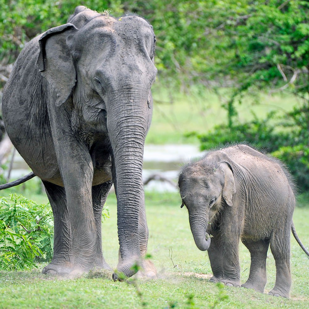Elephants at Yala