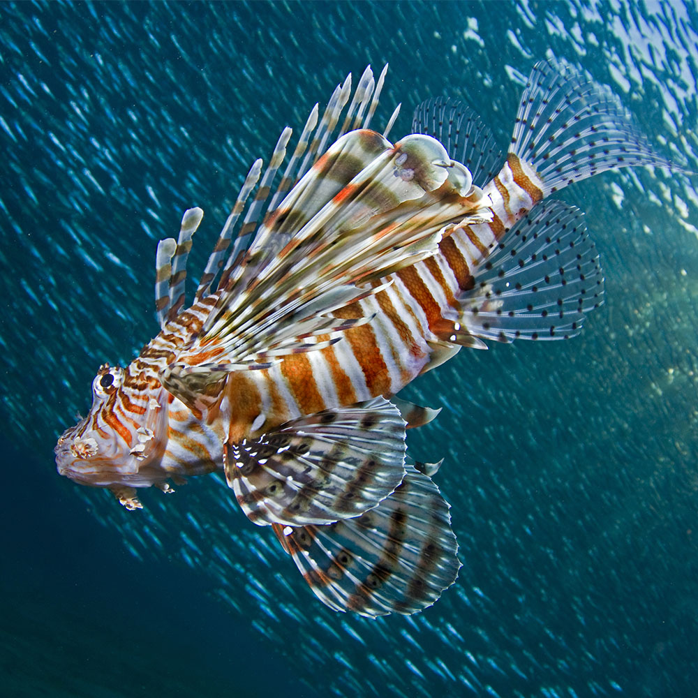Lionfish in the Indian Ocean